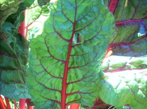 Ozarkhomesteader's Chard in the Garden