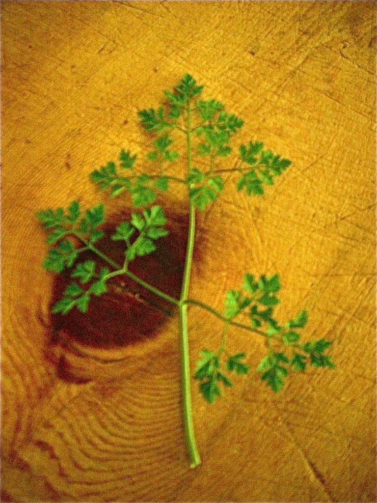 Chervil A Cool Season Herb With A Blend Of Familiar